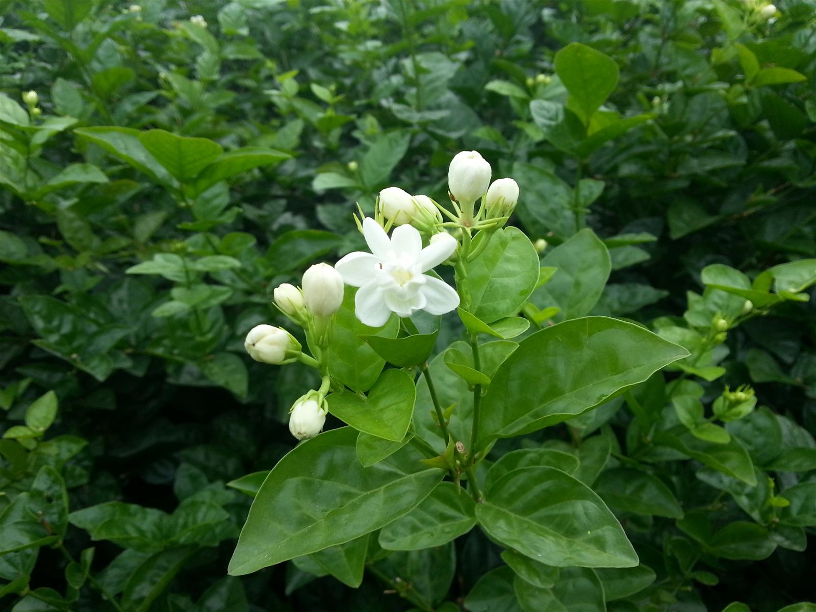 Trà hoa lài được xếp vào một trong tứ đại danh trà cổ truyền của người Việt Nam